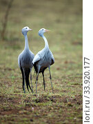 Blue crane (Anthropoides paradiseus) pair, Itala Game Reserve, KwaZulu-Natal, South Africa. Стоковое фото, фотограф Richard Du Toit / Nature Picture Library / Фотобанк Лори