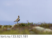 European golden plover, Pluvialis apricaria walking on the ground on Mount Dundret, Gällivare, Swedish Lapland, Sweden. Стоковое фото, фотограф Mats Lindberg / age Fotostock / Фотобанк Лори