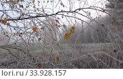 Купить «Осенние березовые ветви в утреннем октябрьском инее. Псковская область, Россия», видеоролик № 33928157, снято 22 октября 2017 г. (c) Виктор Карасев / Фотобанк Лори