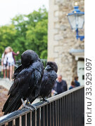 LONDON - AUGUST 21, 2017: Crow in Tower of London, England. Редакционное фото, фотограф Nataliia Zhekova / Фотобанк Лори