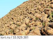 Купить «Sugar beet pile at the field», фото № 33929381, снято 8 октября 2015 г. (c) Nataliia Zhekova / Фотобанк Лори