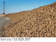 Купить «Sugar beet pile before processing at the plant for the production of sugar», фото № 33929397, снято 9 октября 2015 г. (c) Nataliia Zhekova / Фотобанк Лори