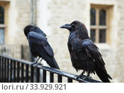 Купить «Two black ravens in the Tower of London, UK», фото № 33929921, снято 21 августа 2017 г. (c) Nataliia Zhekova / Фотобанк Лори