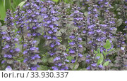 Купить «Bugle - Ajuga reptans Mass of flowers in long grass. Close up blue spring flowers on blurred background. Ajuga reptans. Carpet bugleweed,», видеоролик № 33930337, снято 5 июня 2020 г. (c) Куликов Константин / Фотобанк Лори