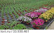 Купить «Rows of dimorfoteca plants in pots in greenhouse, no people», видеоролик № 33930461, снято 12 июля 2020 г. (c) Яков Филимонов / Фотобанк Лори