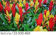 Variety of flower Vriesea plants cultivated in modern orangery. Стоковое видео, видеограф Яков Филимонов / Фотобанк Лори