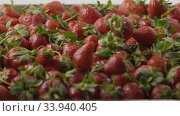 Купить «A woman's hand throws some strawberries on a tray with berries. Close-up of a wet red ripe strawberry on a tray. Tracking slow motion video. Soft focus. Full HD video, 240fps, 1080p», видеоролик № 33940405, снято 3 июля 2020 г. (c) Ярослав Данильченко / Фотобанк Лори