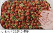Купить «A woman's hands throw some strawberries on a tray with berries. Wet red ripe strawberry on a tray of steel with holes. Berries background. Slow motion video. Top view. Full HD video, 240fps, 1080p», видеоролик № 33940409, снято 5 августа 2020 г. (c) Ярослав Данильченко / Фотобанк Лори