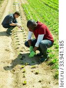Купить «Gardeners planting seedlings of lettuce», фото № 33941185, снято 16 июля 2020 г. (c) Яков Филимонов / Фотобанк Лори