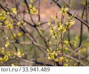 Blooming willow branches. Стоковое фото, фотограф Argument / Фотобанк Лори