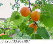 Купить «Ripe sweet apricot fruits growing on a apricot tree branch», фото № 33959897, снято 20 июня 2017 г. (c) Nataliia Zhekova / Фотобанк Лори
