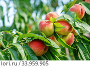 Купить «Ripe sweet peach fruits growing on a peach tree branch», фото № 33959905, снято 3 августа 2015 г. (c) Nataliia Zhekova / Фотобанк Лори