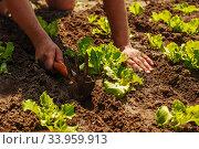 Купить «farmer takes care of seedlings», фото № 33959913, снято 1 июня 2015 г. (c) Nataliia Zhekova / Фотобанк Лори