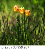 Tulip Flower. Beautiful bouquet of tulips. colorful tulips. tulips in spring at the garden, colorful tulip. Стоковое фото, фотограф Nataliia Zhekova / Фотобанк Лори