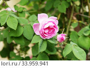 Купить «tea rose bush. Rose oil production. Industrial Cultivation», фото № 33959941, снято 12 мая 2018 г. (c) Nataliia Zhekova / Фотобанк Лори