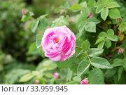 Купить «tea rose bush. Rose oil production.», фото № 33959945, снято 12 мая 2018 г. (c) Nataliia Zhekova / Фотобанк Лори