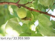 a butterfly pest sits on a leaf of a fruit apricot tree. Стоковое фото, фотограф Nataliia Zhekova / Фотобанк Лори