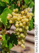 Ripe grapes with green leaves. Стоковое фото, фотограф Nataliia Zhekova / Фотобанк Лори