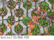 Green grass growing on the old pavement tiles in the park. Planting green grass in the square hole of concrete slabs on the pathway in the park. Стоковое фото, фотограф Nataliia Zhekova / Фотобанк Лори