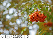 The fruits of mountain ash hanging in clusters on the branches of trees. Стоковое фото, фотограф Nataliia Zhekova / Фотобанк Лори