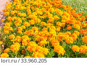 A flower bed of bright, fragrant, beautiful, orange, luxuriantly blooming marigolds growing in the garden under the open sky in the open field. A plant with healing. Стоковое фото, фотограф Nataliia Zhekova / Фотобанк Лори