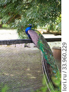 Peacock. Indian wild peacock (Pavo cristatus). Portrait of a beautiful peacock. Стоковое фото, фотограф Nataliia Zhekova / Фотобанк Лори