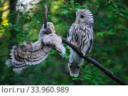 Купить «Ural owl (Strix uralensis) female watching fledgling learning to climb and balance on branch. Owlet's first day out of nest. Tartumaa County, Southern Estonia. June.», фото № 33960989, снято 4 августа 2020 г. (c) Nature Picture Library / Фотобанк Лори
