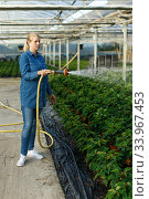 Young female gardener hoses seedling of euphorbia pulcherrima. Стоковое фото, фотограф Яков Филимонов / Фотобанк Лори