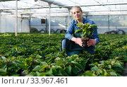 Купить «Young female gardener in gloves working with seedlings of euphorbia pulcherrima in pots», фото № 33967461, снято 3 октября 2018 г. (c) Яков Филимонов / Фотобанк Лори