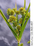 Pale Galingale (Cyperus eragrostis) in flower, beside River Wandle, Surrey, England, August. Стоковое фото, фотограф Linda Pitkin / Nature Picture Library / Фотобанк Лори