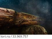 Amphipods (Acanthogammarus victorii) on submerged log, Lake Baikal, Siberia, Russia. July. Стоковое фото, фотограф Olga Kamenskaya / Nature Picture Library / Фотобанк Лори