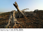 Dragon blood tree withered trunk. Socotra, Yemen (2010 год). Стоковое фото, фотограф Знаменский Олег / Фотобанк Лори