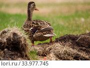 Купить «Female Mallard in the Grass sunning itself.», фото № 33977745, снято 7 июля 2020 г. (c) age Fotostock / Фотобанк Лори