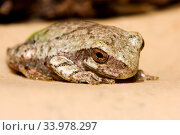 Cope's Gray Tree Frog resting on a ledge. Стоковое фото, фотограф Zoonar.com/Joseph Fuller / age Fotostock / Фотобанк Лори