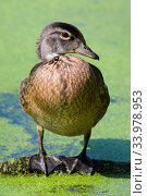 Купить «Mallard Sunning itself on a floating log», фото № 33978953, снято 7 июля 2020 г. (c) age Fotostock / Фотобанк Лори