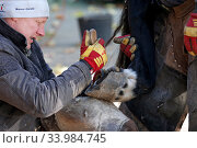 Muenchehofe, farrier works the hoof of a horse with a hoof knife (2019 год). Редакционное фото, агентство Caro Photoagency / Фотобанк Лори