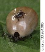 Купить «Berlin, Germany, male tick sitting on a soaked female tick», фото № 33984985, снято 19 апреля 2020 г. (c) Caro Photoagency / Фотобанк Лори
