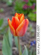 Цветок красный тюльпан. Стоковое фото, фотограф александр лупкин / Фотобанк Лори