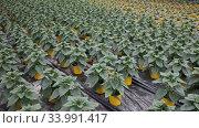 Green plantation of non flowering ornamental Helianthus growing in pots in greenhouse. Стоковое видео, видеограф Яков Филимонов / Фотобанк Лори