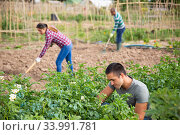 Купить «Man gardener while harvesting of potatoes in green garden», фото № 33991781, снято 7 июля 2020 г. (c) Яков Филимонов / Фотобанк Лори