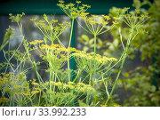 Купить «Укроп душистый в саду», фото № 33992233, снято 11 июля 2018 г. (c) Татьяна Белова / Фотобанк Лори