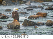 Bald eagle (Haliaeetus leucocephalus) perched on rocks in the Somes Sound at dawn. Acadia National Park, Maine, USA, July. Стоковое фото, фотограф George Sanker / Nature Picture Library / Фотобанк Лори