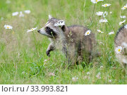 Raccoon (Procyon lotor) cub among flowers,  Acadia National Park, Maine, USA. Стоковое фото, фотограф George Sanker / Nature Picture Library / Фотобанк Лори