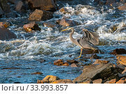 Купить «Great blue heron (Ardea herodias) looking for fish in river, Acadia National Park, Maine, USA. June.», фото № 33993857, снято 12 июля 2020 г. (c) Nature Picture Library / Фотобанк Лори