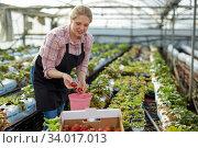 Woman picking strawberry in greenhouse. Стоковое фото, фотограф Яков Филимонов / Фотобанк Лори
