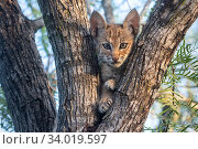 Portrait of a wild Bobcat (Lynx rufus) kitten in a tree, Texas, USA... Стоковое фото, фотограф Karine Aigner / Nature Picture Library / Фотобанк Лори