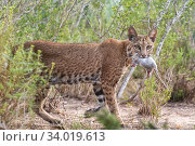 A female Bobcat (Lynx rufus) with Hispid cotton rat (Sigmodon hispidus) prey, Texas, USA. September. Стоковое фото, фотограф Karine Aigner / Nature Picture Library / Фотобанк Лори