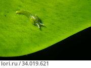 Sea snail (Oxynoe benchijigua) on seaweed (Caulerpa prolifera) Tenerife, Canary Islands. Стоковое фото, фотограф Sergio Hanquet / Nature Picture Library / Фотобанк Лори