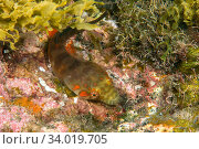 Connemarra clingfish (Lepodogaster candolii) Tenerife, Canary Islands. Стоковое фото, фотограф Sergio Hanquet / Nature Picture Library / Фотобанк Лори