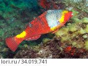Купить «Parrotfish (Sparisoma cretense) female. Tenerife, Canary Islands.», фото № 34019741, снято 10 июля 2020 г. (c) Nature Picture Library / Фотобанк Лори
